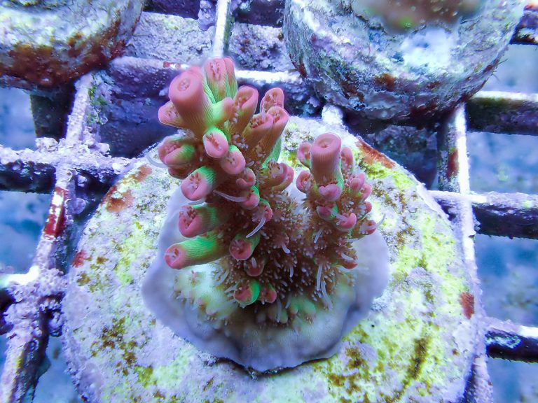 Everything You Need To Know About Coral Frags In A Saltwater Aquarium