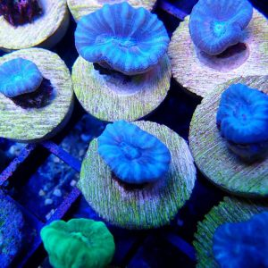 Baby Blue Candy Cane Coral