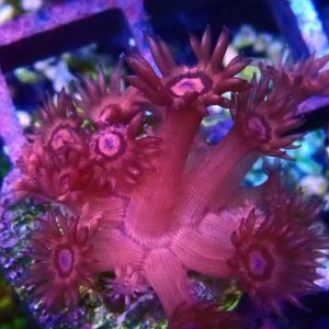 Red Goniopora Coral