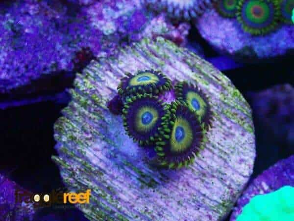Scrambled Eggs Zoanthids