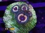 Sonic Flare Zoanthids 2