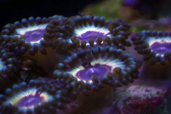 Sonic Flare Zoanthids