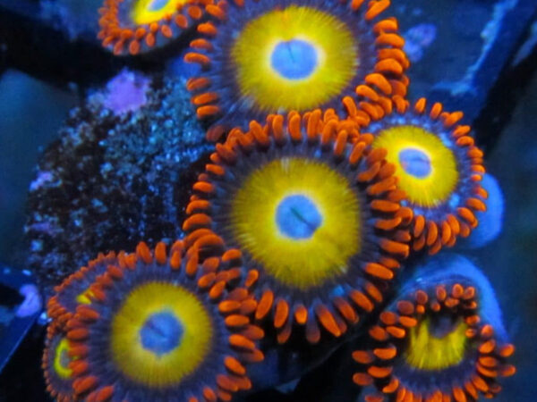 Blonde Hair Blue Eyed Bitches (BHBEB) Zoanthids Polyps Coral