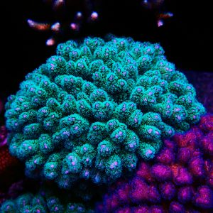 Green Polyp Pink Stylophora Coral, Aquacultured