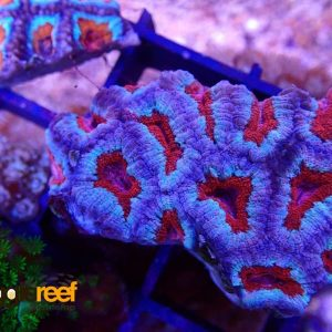 Acanthastrea Red Diamond