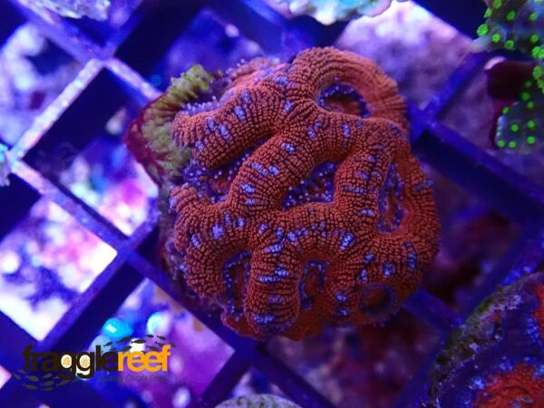 Acanthastrea Flaming Red