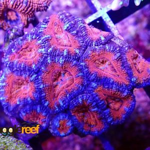 Acanthastrea Fire and Ice WYSIWYG