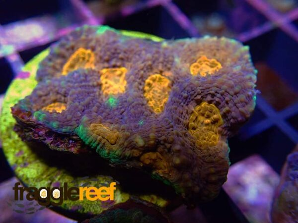Orange Eye Aussie Acan Echinata