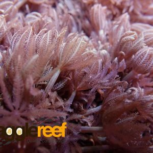 Red Sea Pulsing Xenia