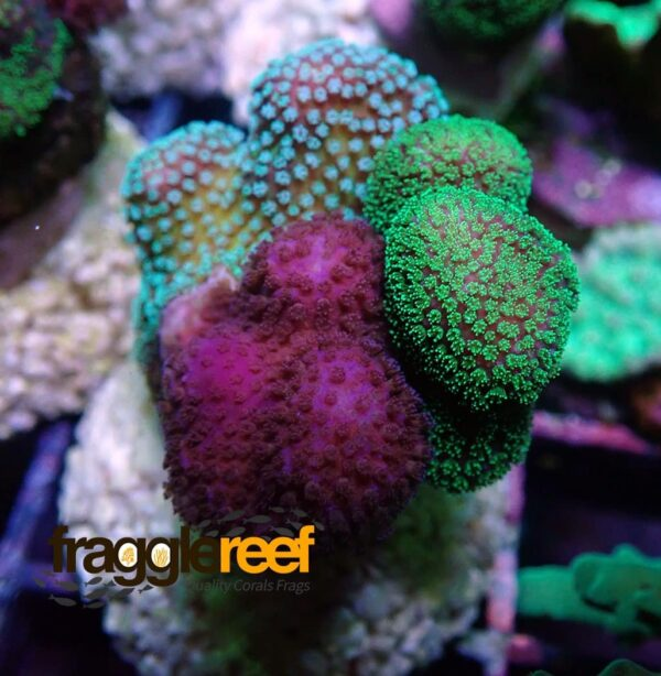 Triple Mix Stylophora Coral