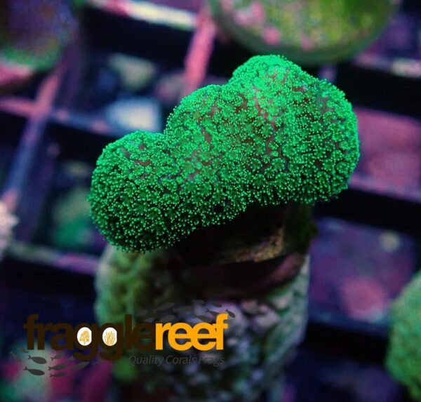Ultra Green Stylophora Coral