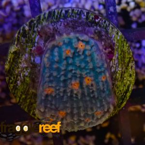Mummy Eye Chalice Coral