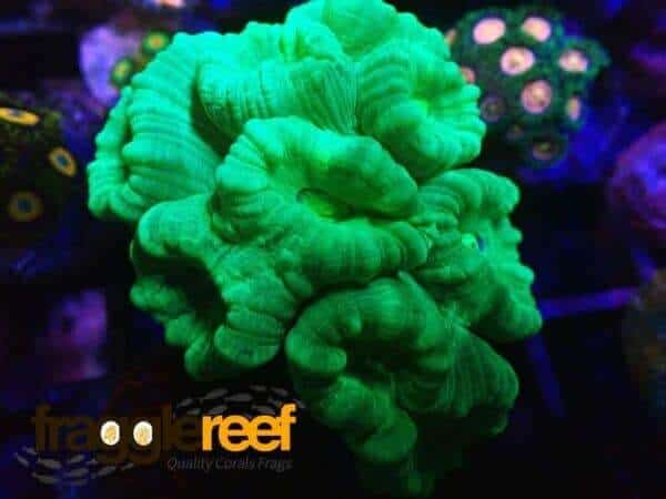 Neon Green Candy Cane Coral (Colany) WYSIWYG