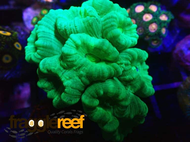 Candy Cane Coral Care – An Easy Guide For Beginners