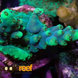 Purple Acropora Coral