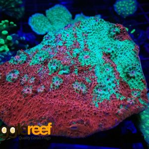 Toxic Splatter Chalice Coral