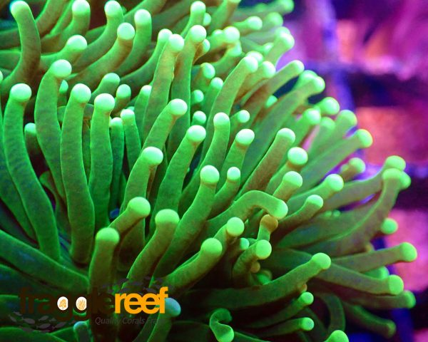 Ultra Green Torch Euphyllia