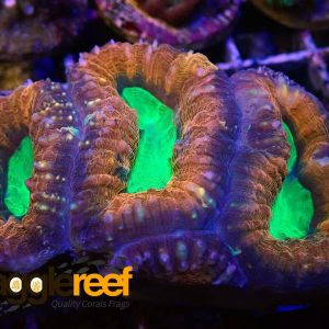 Ultra Lobophyllia Split Colour