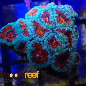 Acanthastrea Ultra Red Diamond WYSIWYG