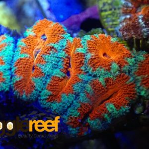 Acanthastrea Fire and Ice