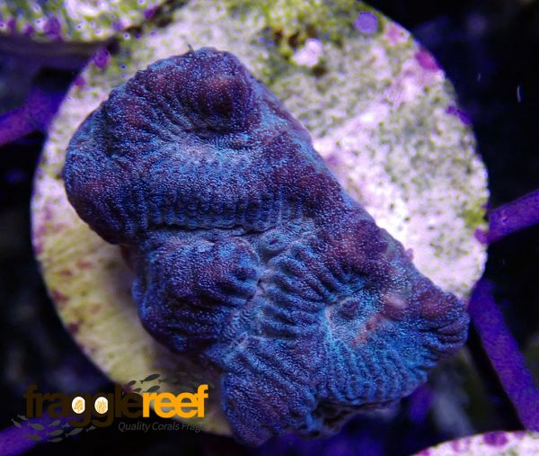 Blue Red Brain Coral