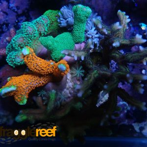 Coral Garden 8 Mixed Coral Bundle WYSIWYG