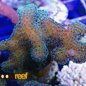Green Stylophora Coral