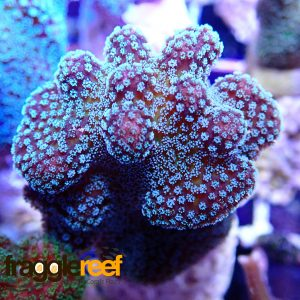 Red Rose Stylophora Coral