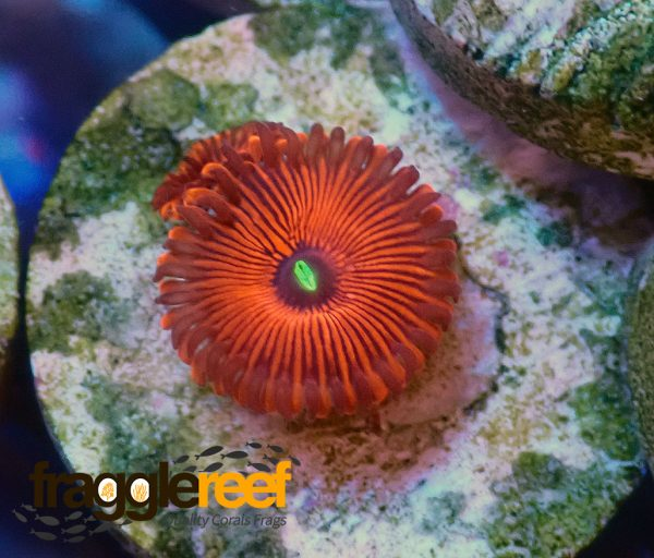 Red People Eater Zoanthids