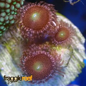 Space Monster Zoanthids