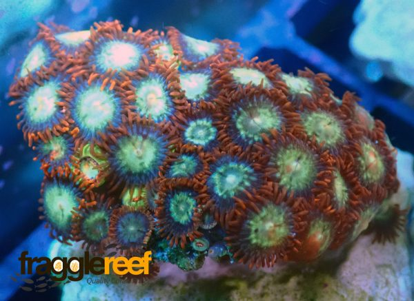 Mixed Zoanthid Islands