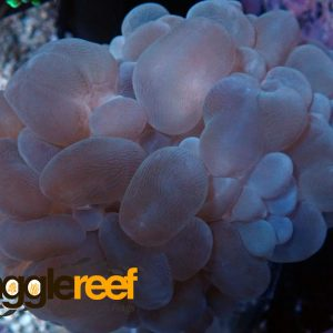 BUBBLE CORAL SEA