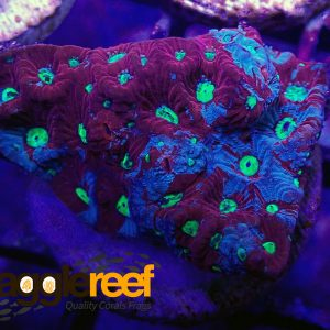 Ultra Favites Red & Green War Coral WYSIWYG