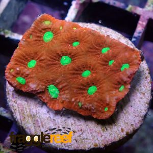 Favites Red & Green War Coral