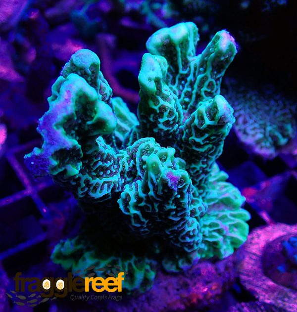 Neon Green Montipora confusa Colany WYSIWYG