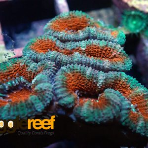 Acanthastrea Red