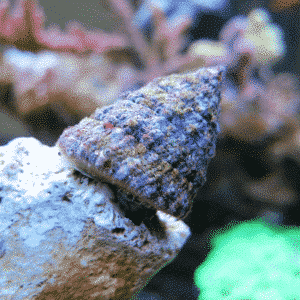 The Turban Snail is a tropical gastropod, known from rocky shores to a depth of 5m (16ft). These snails are very active grazers with a fondness for consuming large quantities of algae, and as such are a popular choice for the reef aquarium. The shells are conical and coiled, white, beige, or light grey in colour, and maculated with brown, grey, or green, often with fine spiral ridges and beading.