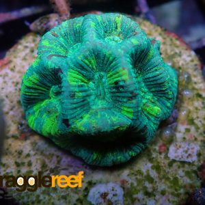 Toxic Green Goniastrea Coral