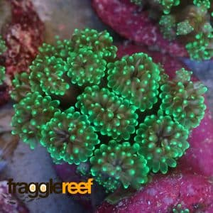 Metallic Green Galaxea Coral
