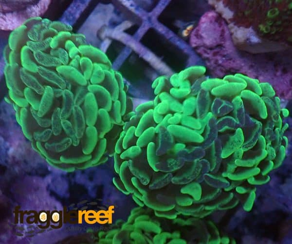 Bi-Marbled Green Wall Hammer Coral