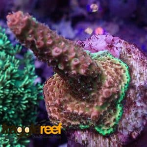Green and Pink Millepora Coral WYSIWYG