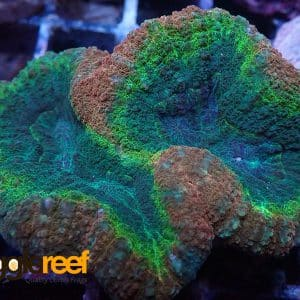 Rainbow Lobophyllia Split Colour WYSIWYG