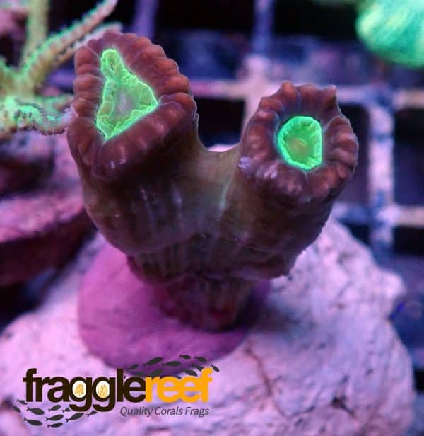 Trumpet Candy Cane Coral