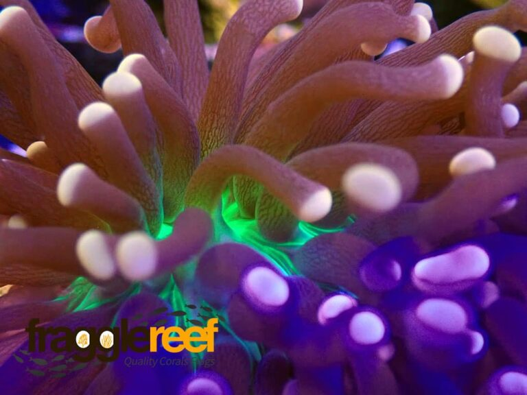 Torch Coral: A Large Polyp Stony (Lps) Beginner Coral