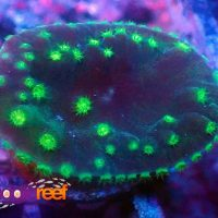 Deep Green Turbinaria Cup Coral