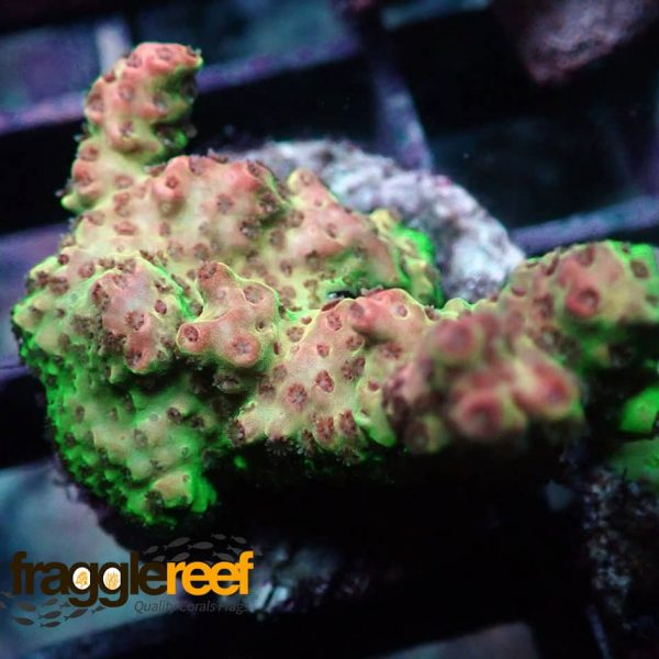 Green And Pink Acropora2