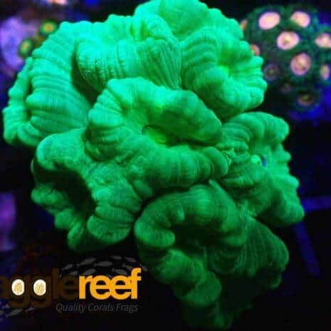 Neon Green Candy Cane Coral