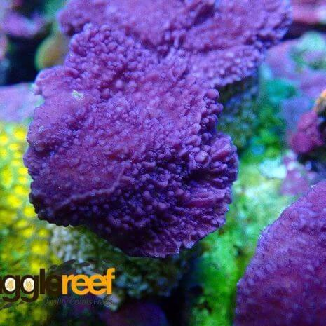 Purple-Montipora-Digitata-1.Jpg