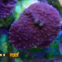 Purple Montipora Digitata