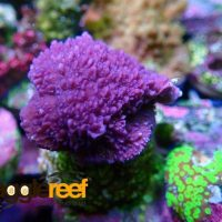 Purple Montipora Digitata 3
